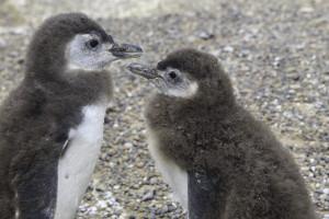 Punta Tombo junge Pinguine