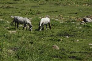 halbwilde Pferde